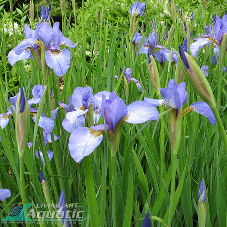 0003 3-Blue-Flag-Iris