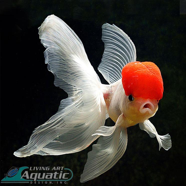 0000 Gold-fish